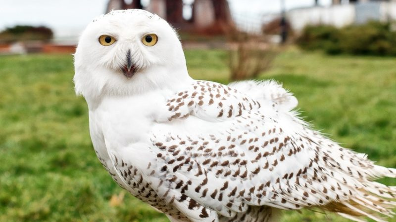 Полярная сова Полинарий