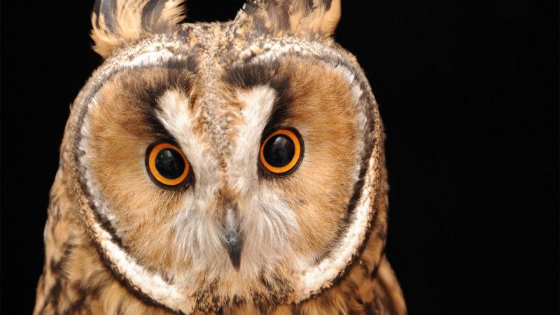 Ушастые совы Феодосии: всё, что Вы хотели о них знать