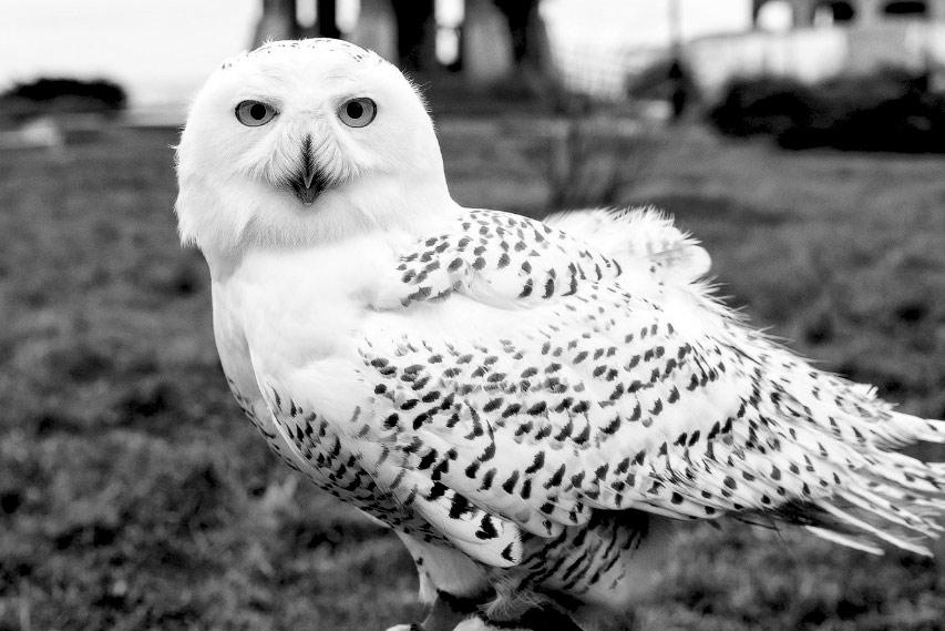Белая (полярная) сова Полинарий
