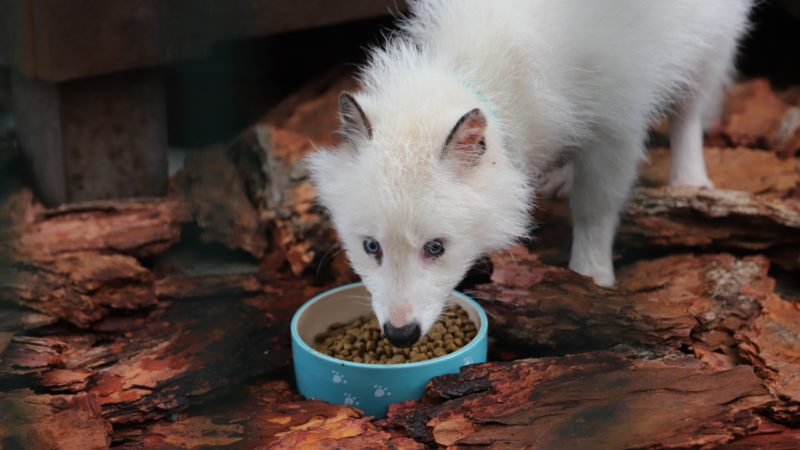 Енотовидная собака (песценот) Вовчик