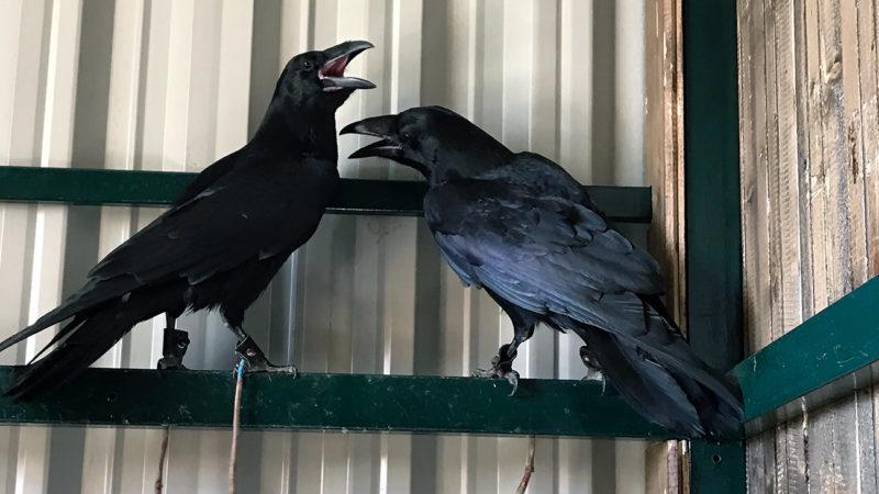 Новые пернатые друзья! Вороны Карл и Клара.