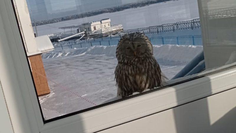 Неясыть в окне Гостевого Центра-Отеля «Мышк Инн».